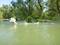 labuť vie skákať na vode?