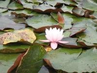 kvitne voda